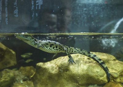 Crocoparc-bébés-crocodiles_3145_2