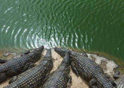 Crocoparc-crocodiles_A8A2857