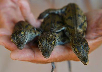 bébésCrocodiles
