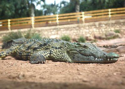 Crocoparc-crocodile-zoom_A8A2871