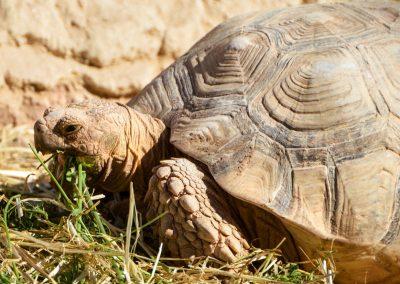 Les tortues géantes