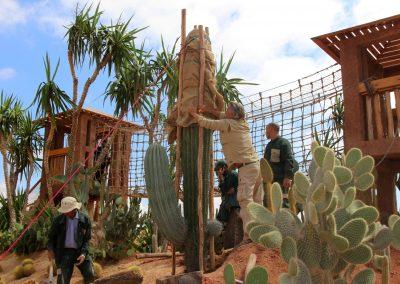 le Pringlei (Pachycereus pringlei) cactus géant