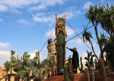 le Pringlei (Pachycereus pringlei) un cactus géant