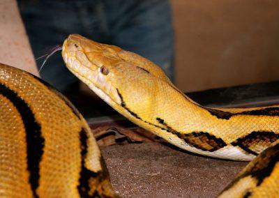 Pythons et anacondas de La grotte aux serpents
