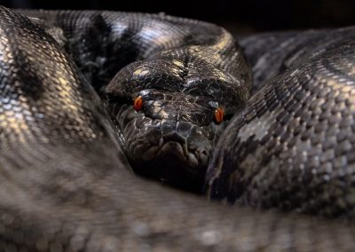 Crocoparc-Pythons-et-anacondas-2