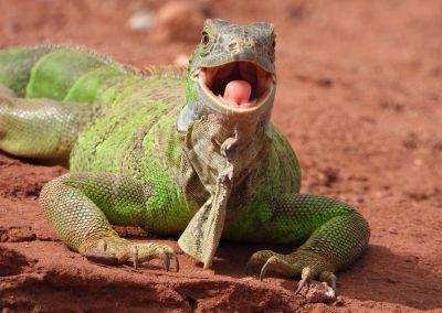 Iguane Jardin des Cactus Crocoprac Agadir